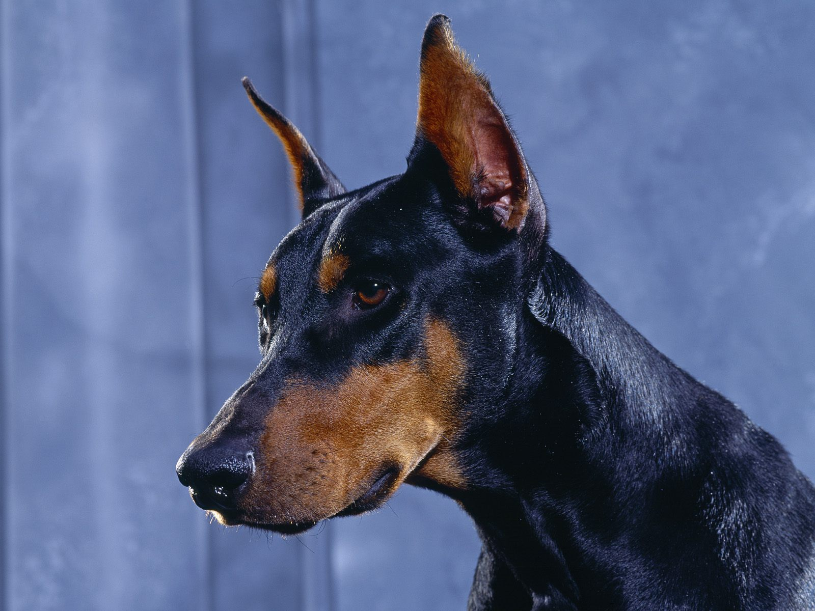 Doberman Pinscher Dog: Doberman Funny Doberman Pinscher Breed