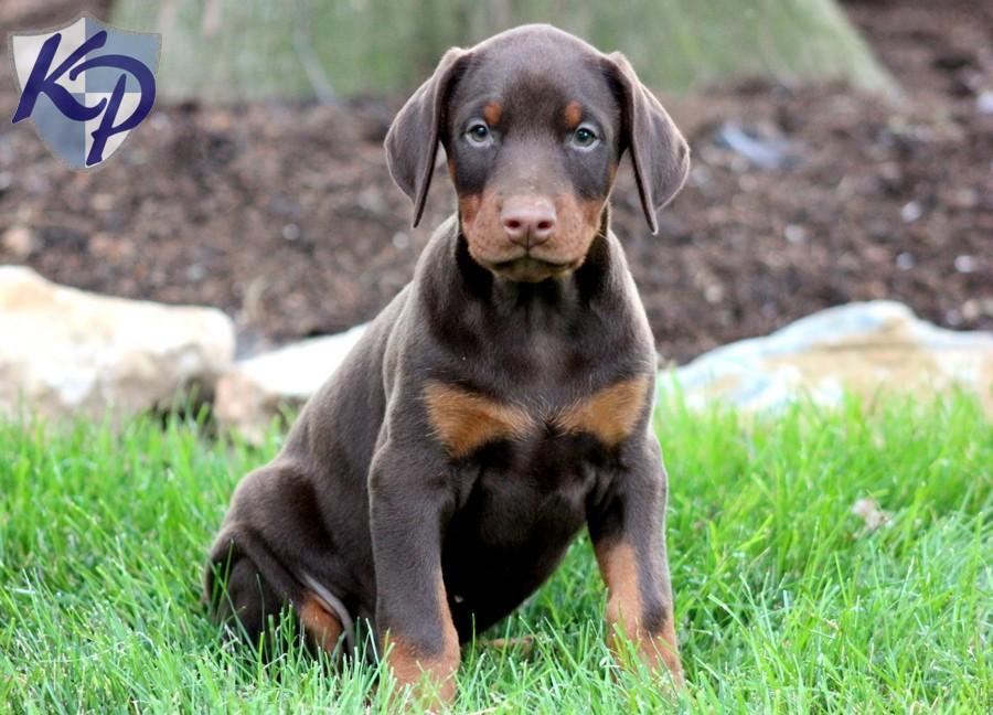 Doberman Pinscher Puppies: Doberman Puppies Doberman English Mastiff Male Pinscher Breed