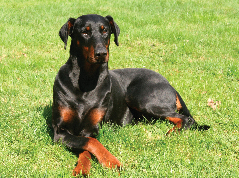 Doberman Pinscher Dog: Doberman Resting Doberman Pinscher Dog Breed