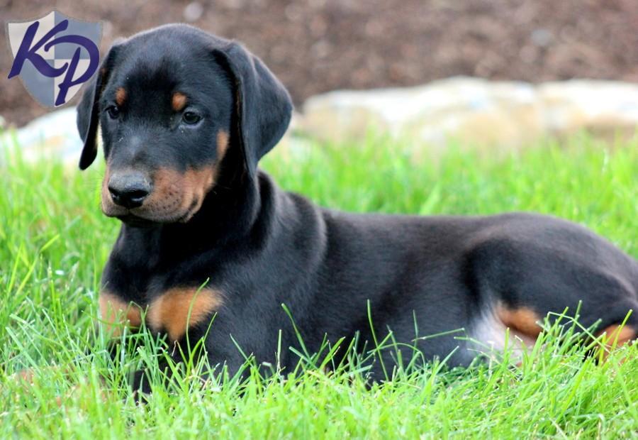Doberman Pinscher Puppies: Doberman Thunder Breed