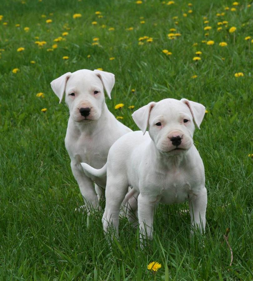 Dogo Argentino Puppies: Dogo Akc Dogo Argentino Puppies Due May Breed