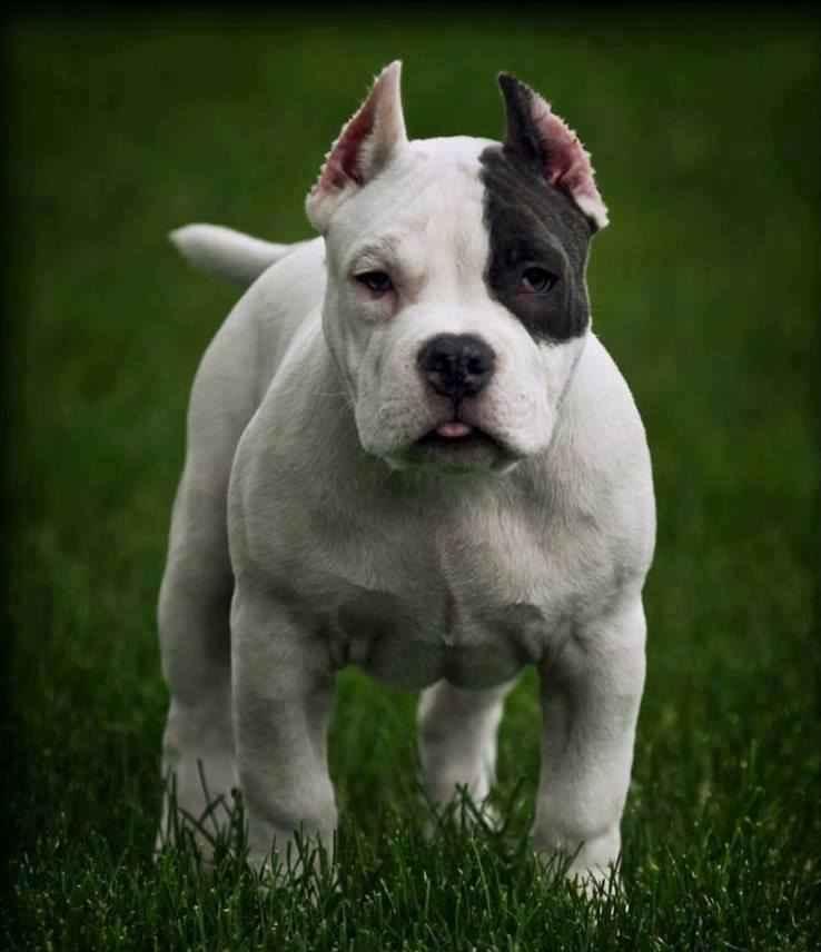 Dogo Argentino Puppies: Dogo Dogo Argentino Puppies S Breed
