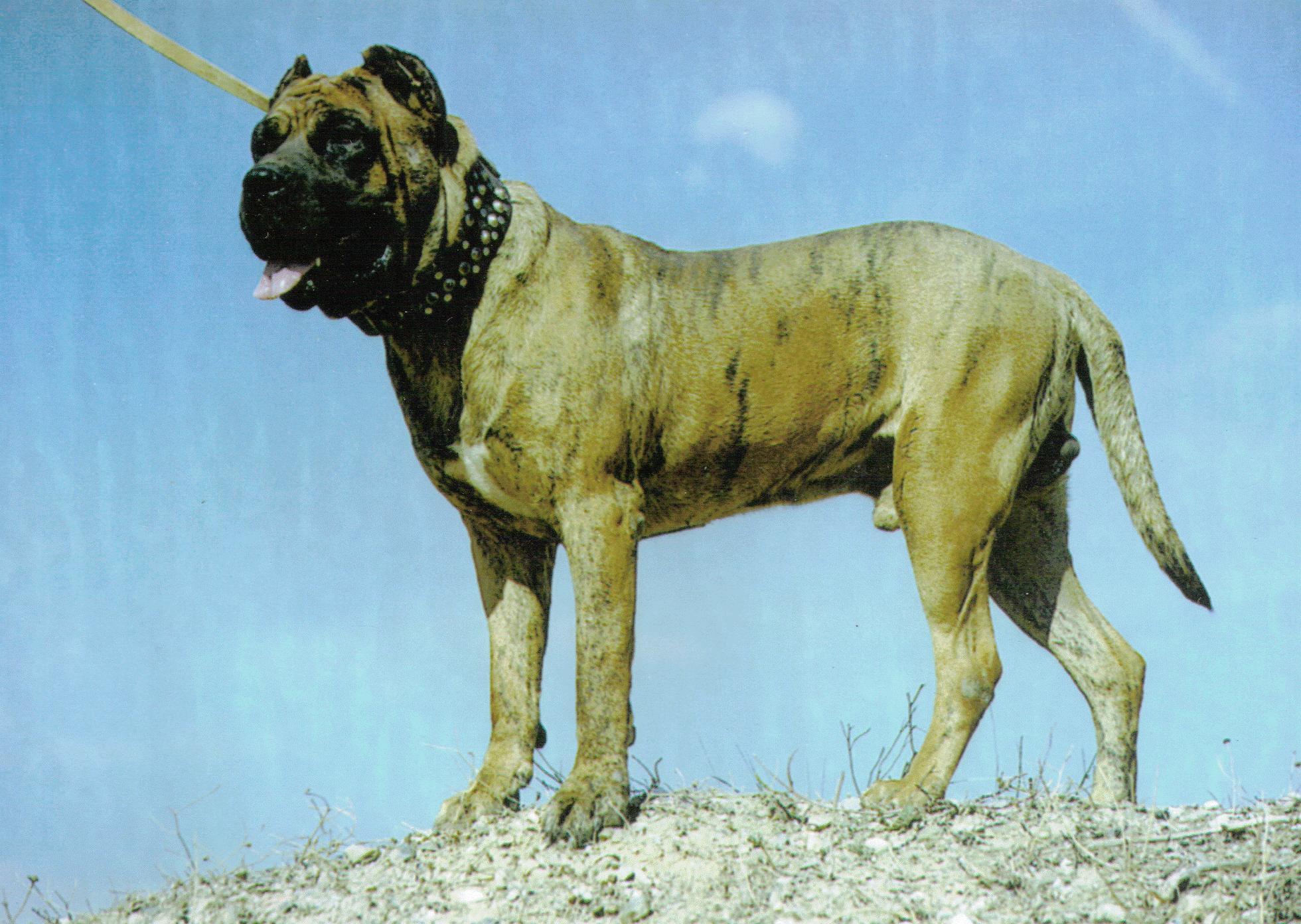 Dogo Cubano Dog: Dogo Dogo Cubano Dog In Nature Breed