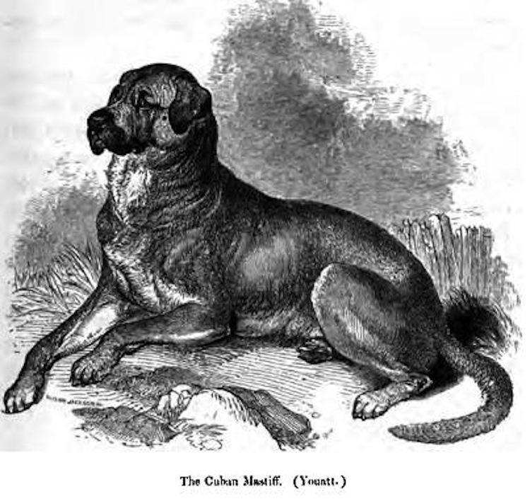 Dogo Cubano Dog: Dogo Endangered Dog Breeds And The Market Forces Behind