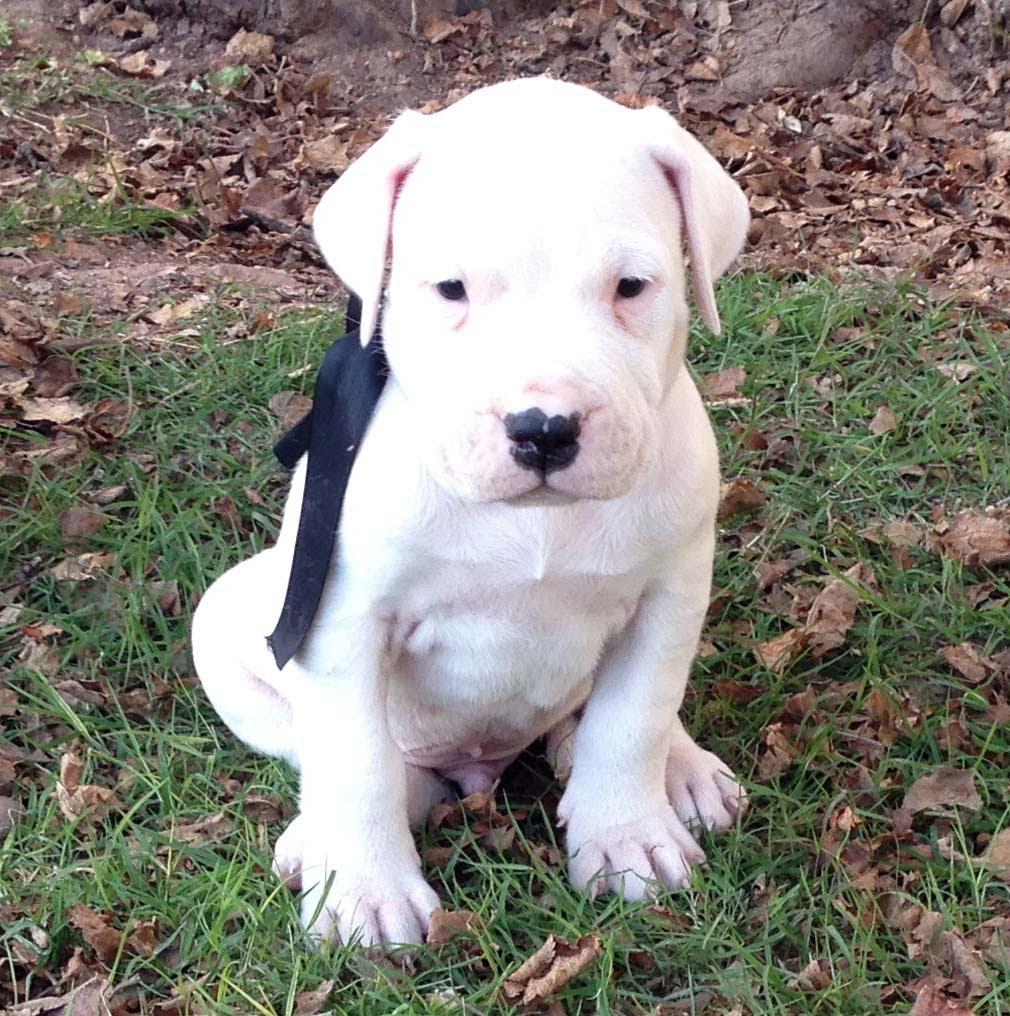 Dogo Argentino Puppies: Dogo Watch Breed