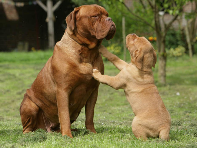 Dogue de Bordeaux Dog: Dogue Chouchou Jusqu Au Bout Breed