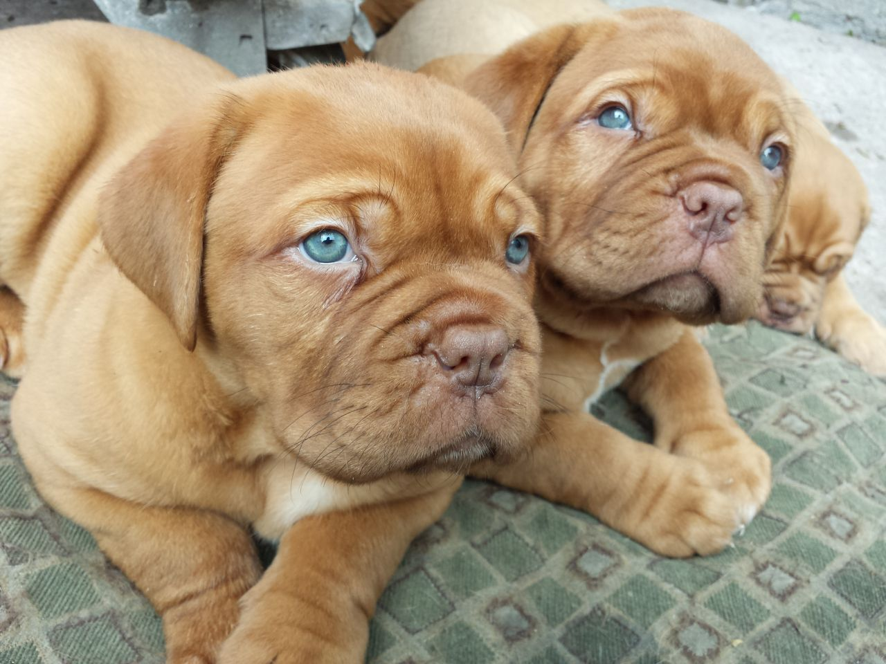 Dogue de Bordeaux Puppies: Dogue Dogue De Bordeaux Breed