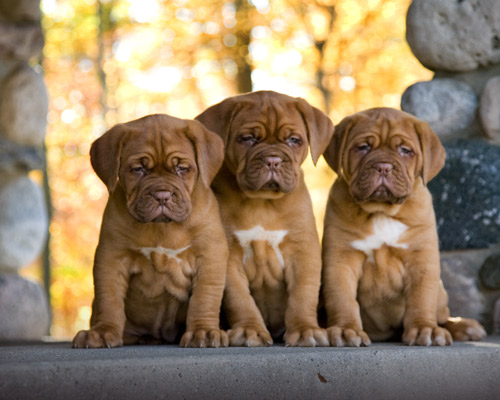 Dogue de Bordeaux Puppies: Dogue Dogue De Bordeaux Pictures Breed