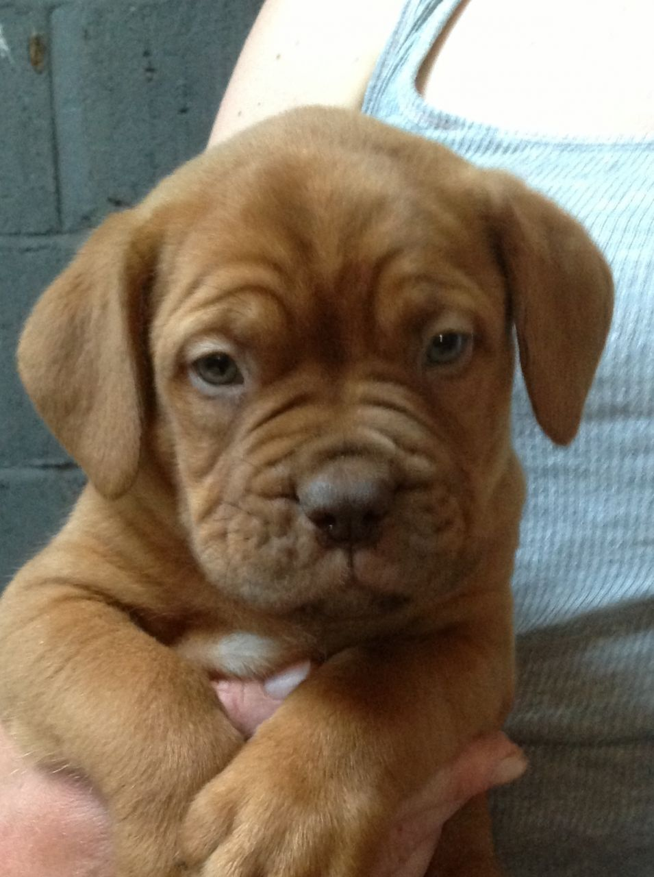 Dogue de Bordeaux Puppies: Dogue Dogue De Bordeaux Puppies Kings Lynn Breed