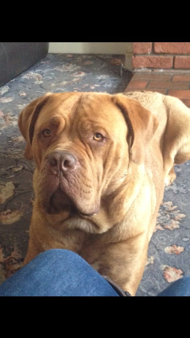 Dogue de Bordeaux Puppies: Dogue Dogue De Bordeaux Puppies Luton Breed