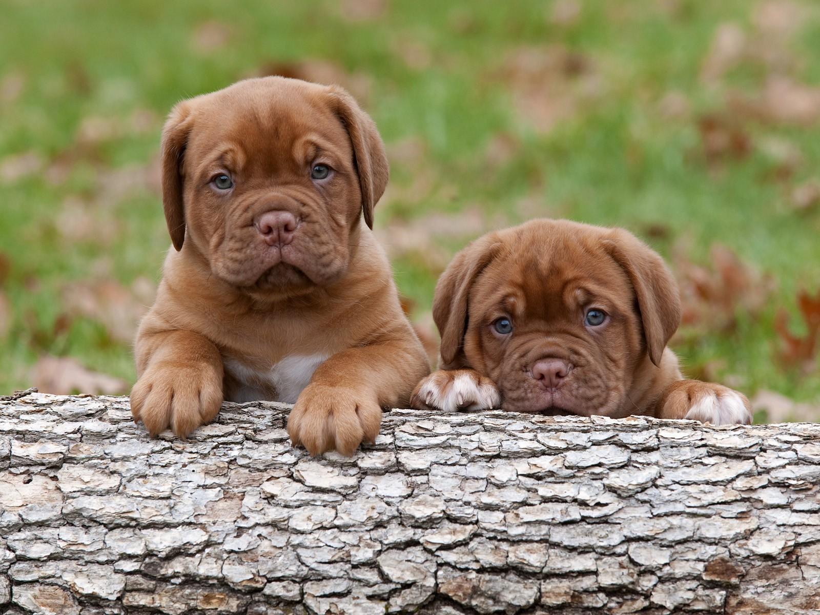 Dogue de Bordeaux Puppies: Dogue French Mastiff Dogue De Bordeaux Breed