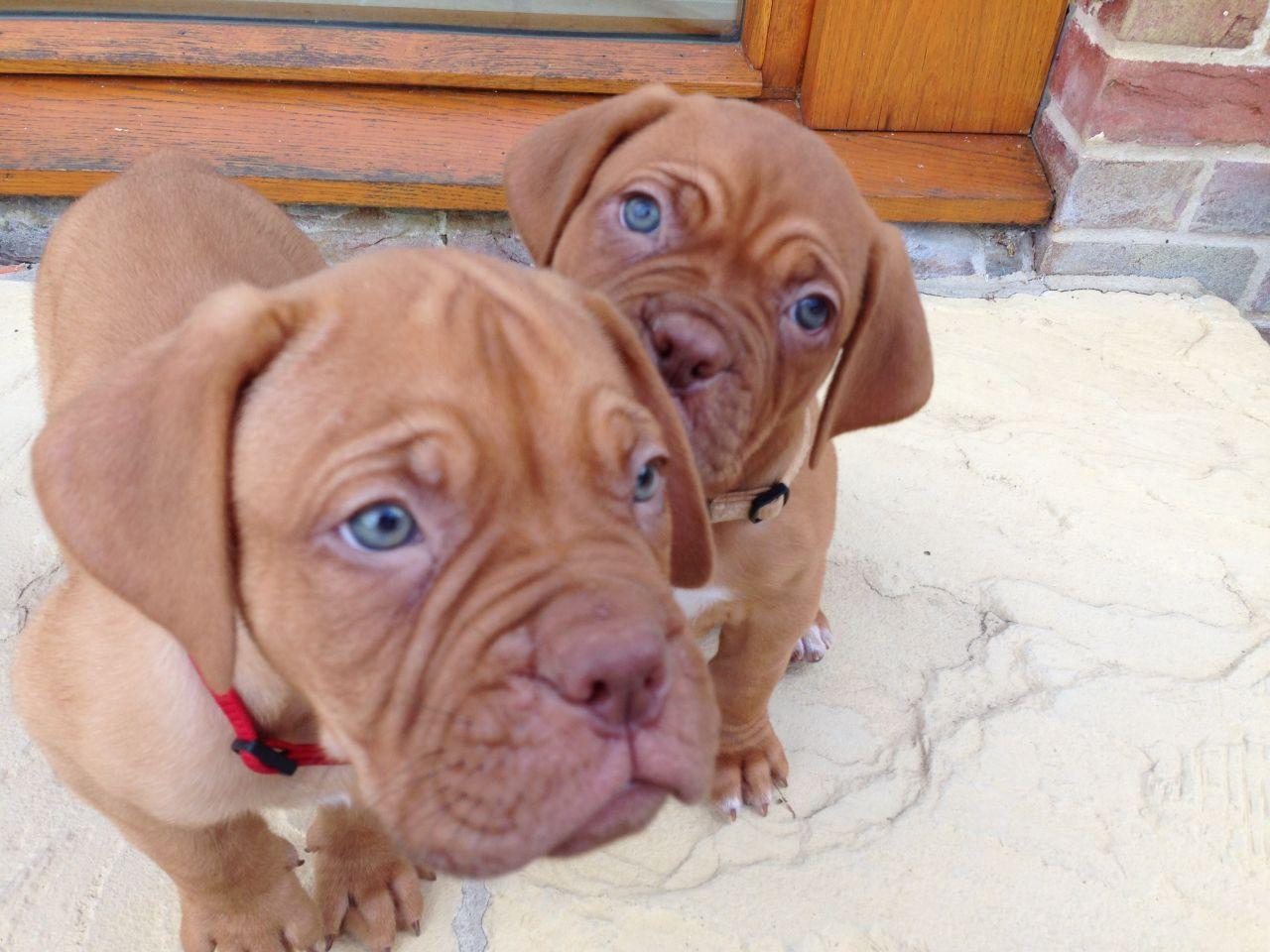 Dogue de Bordeaux Puppies: Dogue Lovely Dogue De Bordeaux Puppies Bury St Edmunds Breed