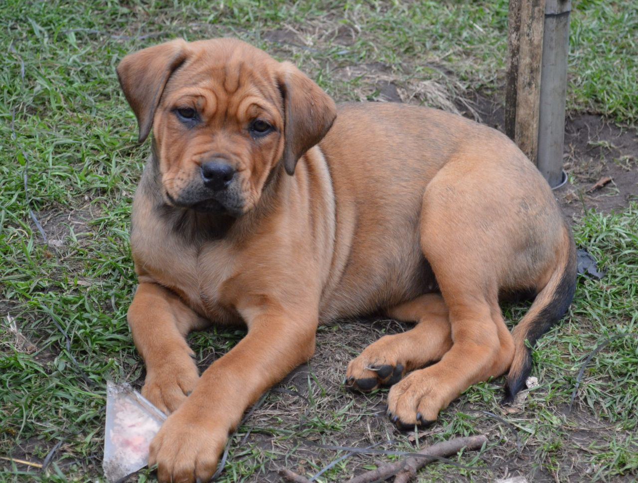 Dogue de Bordeaux Puppies: Dogue Rottweiler X Dogue De Bordeaux Puppies Wirral Breed