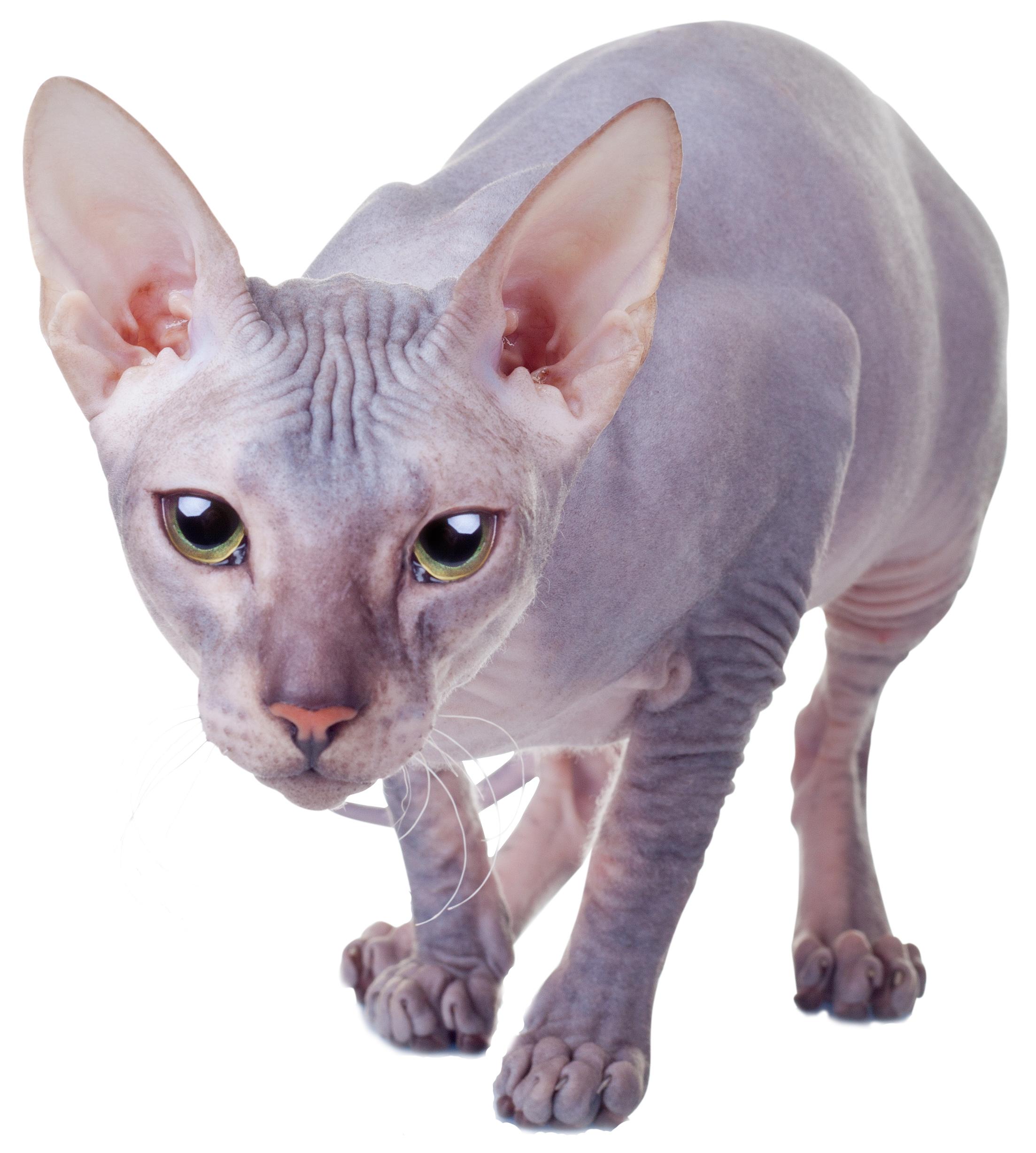Donskoy Kitten: Donskoy Donskoy Breed