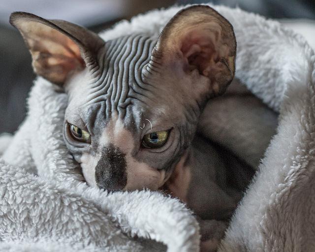 Donskoy Kitten: Donskoy Donskoy Cat Breeders