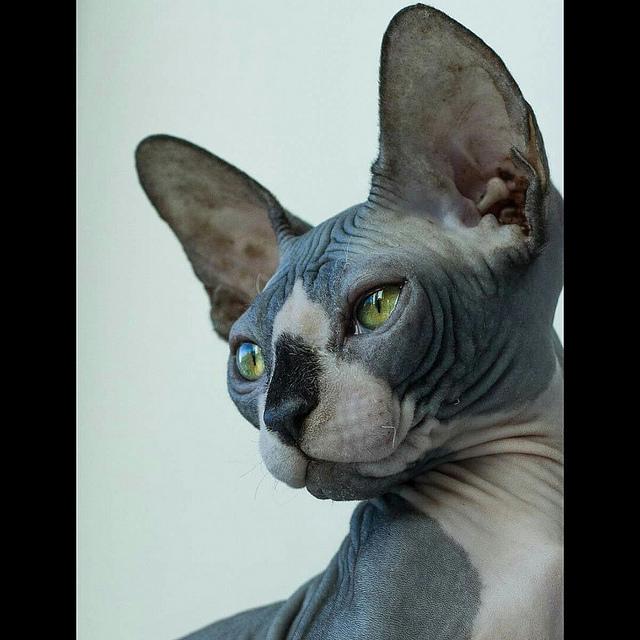 Donskoy Cat: Donskoy Donskoy Don Sphynx Cat Breed