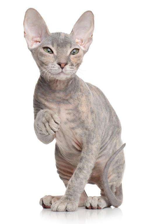 Donskoy Kitten: Donskoy Donskoy Donsphynxcat Breed