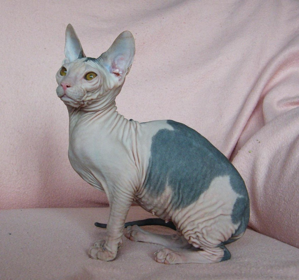 Donskoy Cat: Donskoy Donskoy Or Don Sphynx Breed