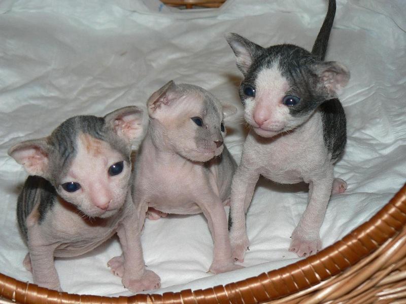 Donskoy Kitten: Donskoy Donskoy Or Don Sphynx Kittens Breed