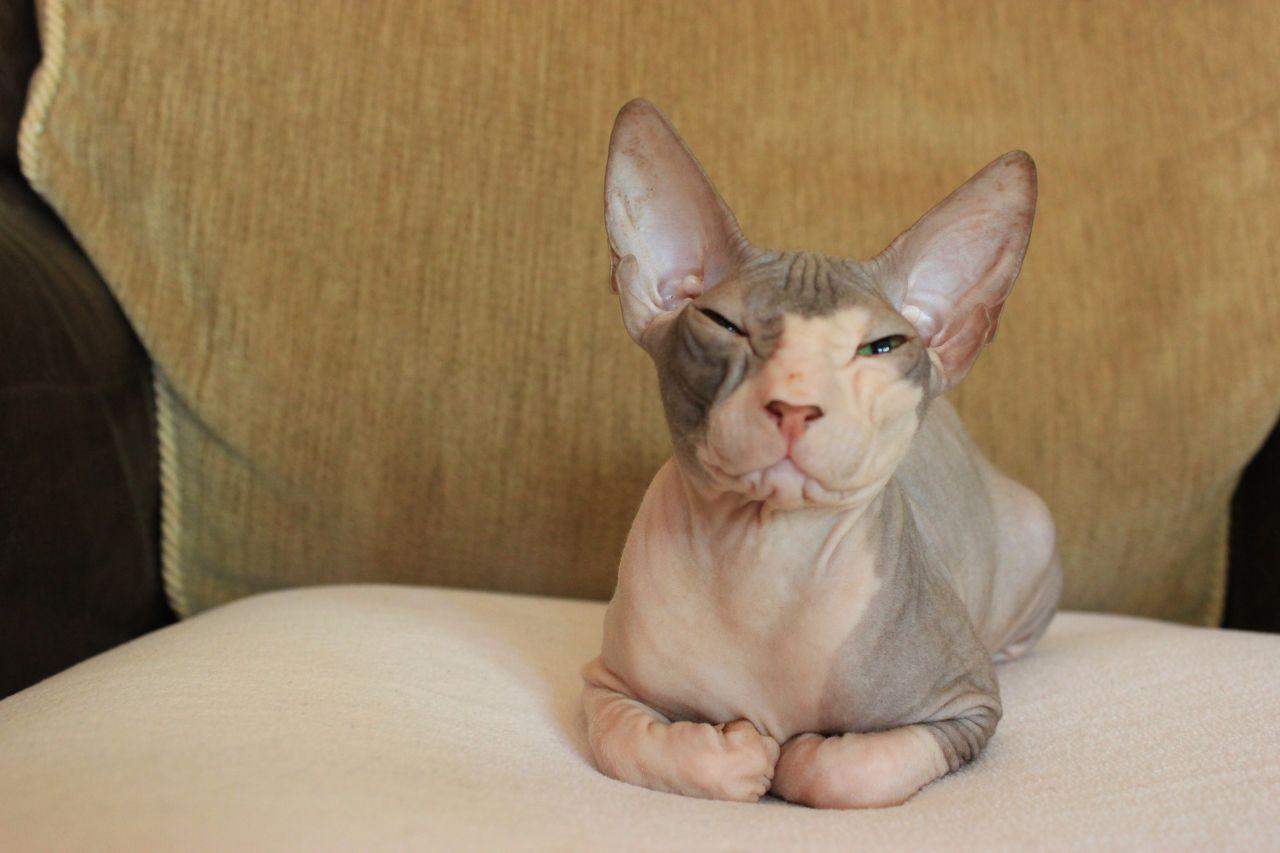 Donskoy Cat: Donskoy Donskoy Sphynx Girl For Sale Romford Breed