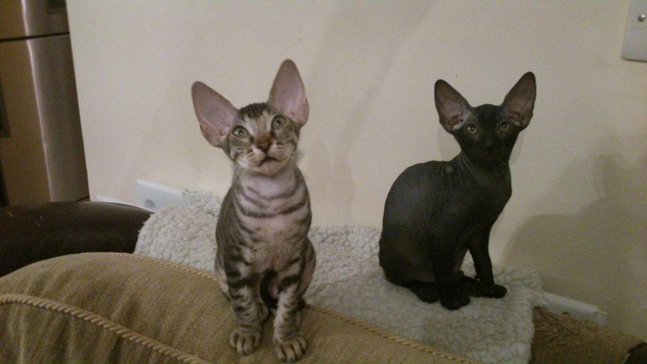 Donskoy Kitten: Donskoy Lovely Donskoy Sphynx Kittens Romford Breed