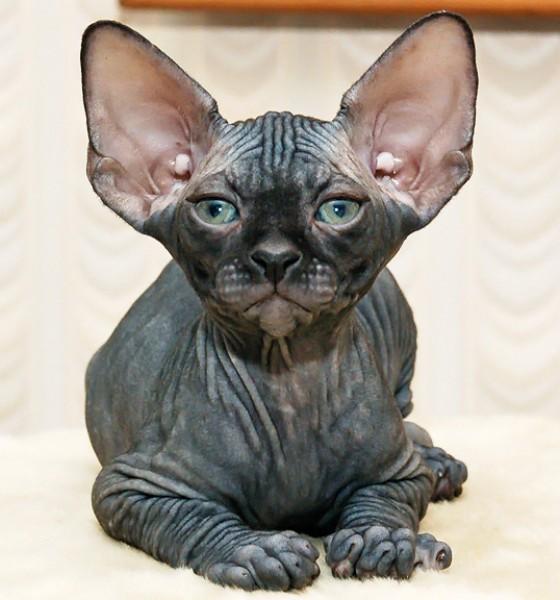 Donskoy Cat: Donskoy Race De Chat Le Donskoy Don Hairless Don Sphynx Ou Sphynx Du Don Breed