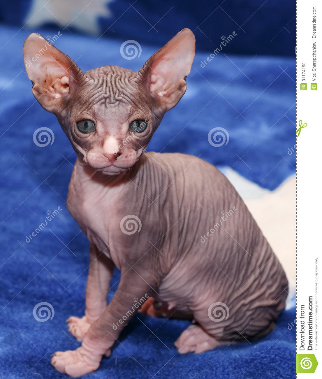 Donskoy Kitten: Donskoy Royalty Free Stock S Donskoy Sphynx Kitten Blue Background Vitebsk Belarus Breed