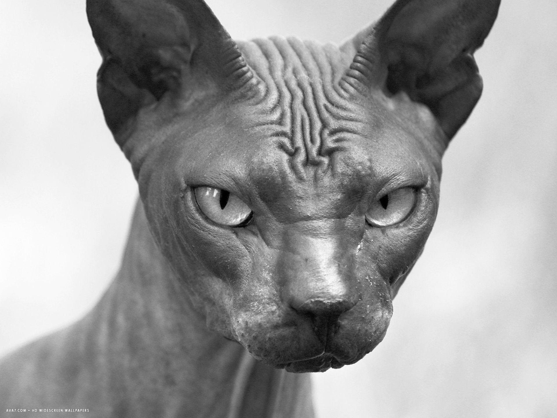 Donskoy Cat: Donskoy S Breed