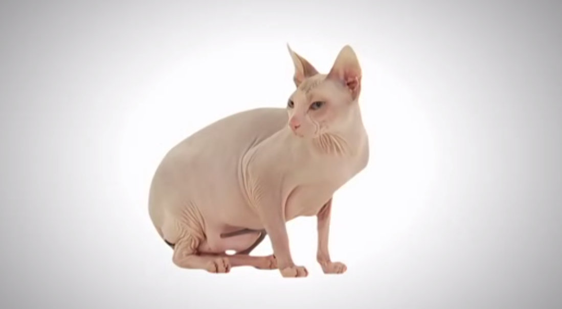 Donskoy Cat: Donskoy S Of Hairless Cat Breeds That Will Capture Your Cat Lady Heart