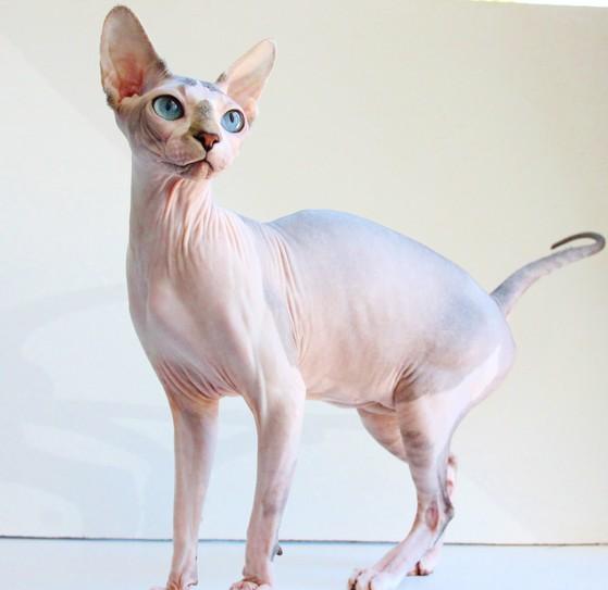 Donskoy Kitten: Donskoy Sphynxgirls Breed