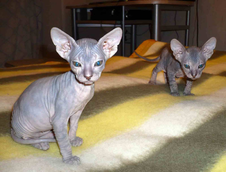 Donskoy Cat: Donskoy Two Donskoy Or Don Sphynx Breed