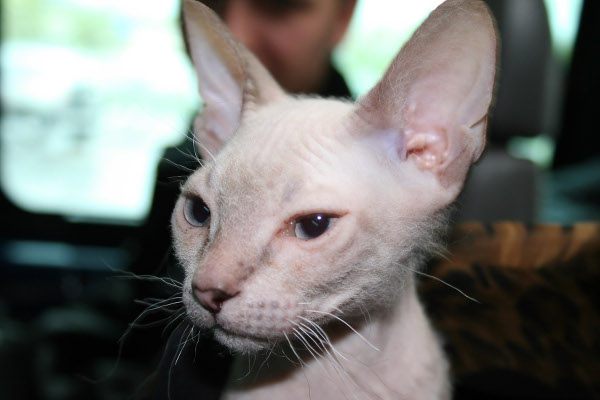 Donskoy Cat: Donskoy Ways The Donskoy Cat Breed Makes People Say What