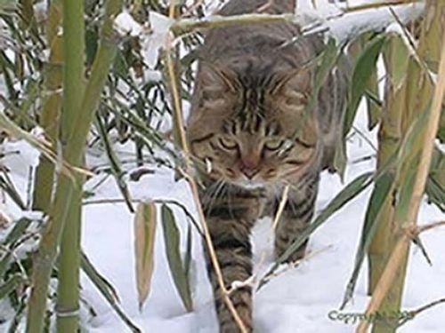 Dragon Li Kitten: Dragon Breed