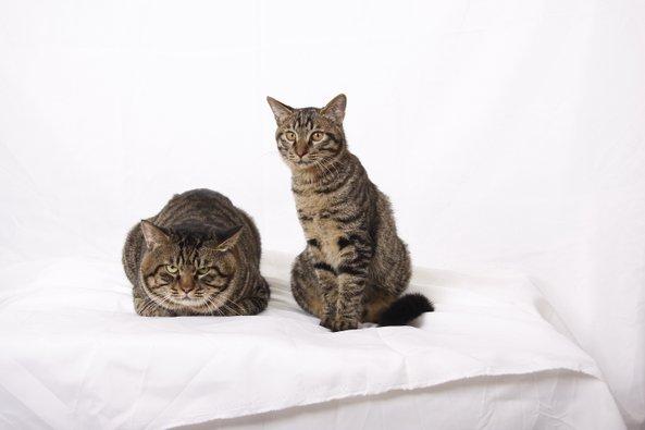Dragon Li Cat: Dragon Chinese Cat Breeds