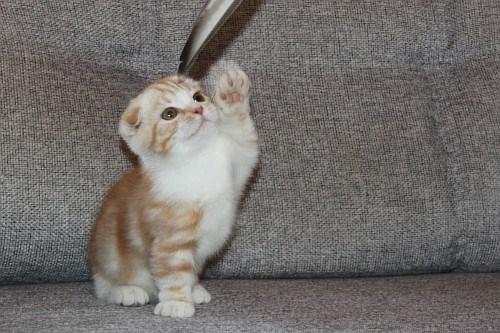 Dragon Li Kitten: Dragon Dragon Li Cat Breeders
