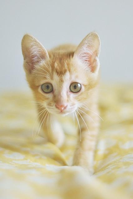 Dragon Li Kitten: Dragon Index Breed