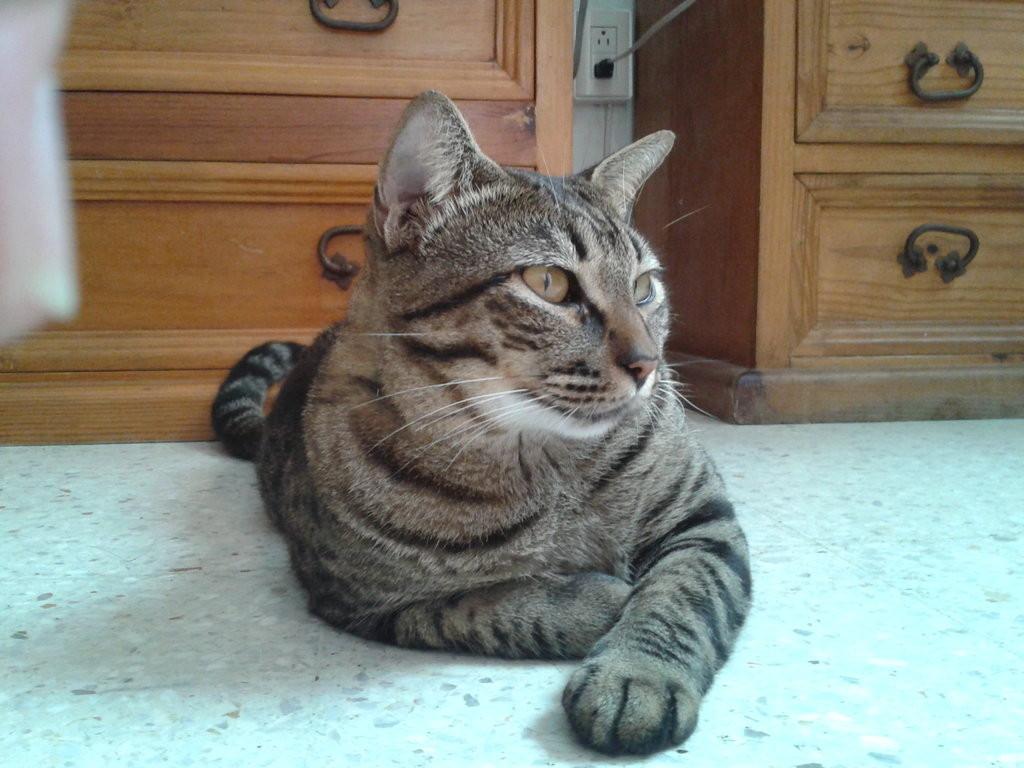 Dragon Li Cat: Dragon The Ultimate Cat Breeds List