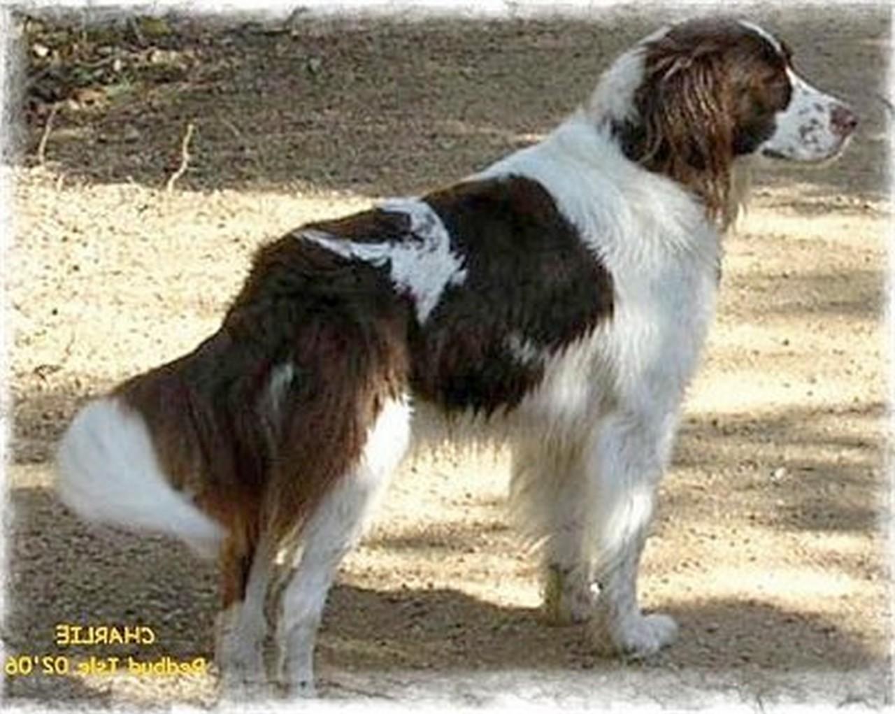 Drentse Patrijshond Puppies: Drentse Beautiful Drentse Patrijshond Dog Breed