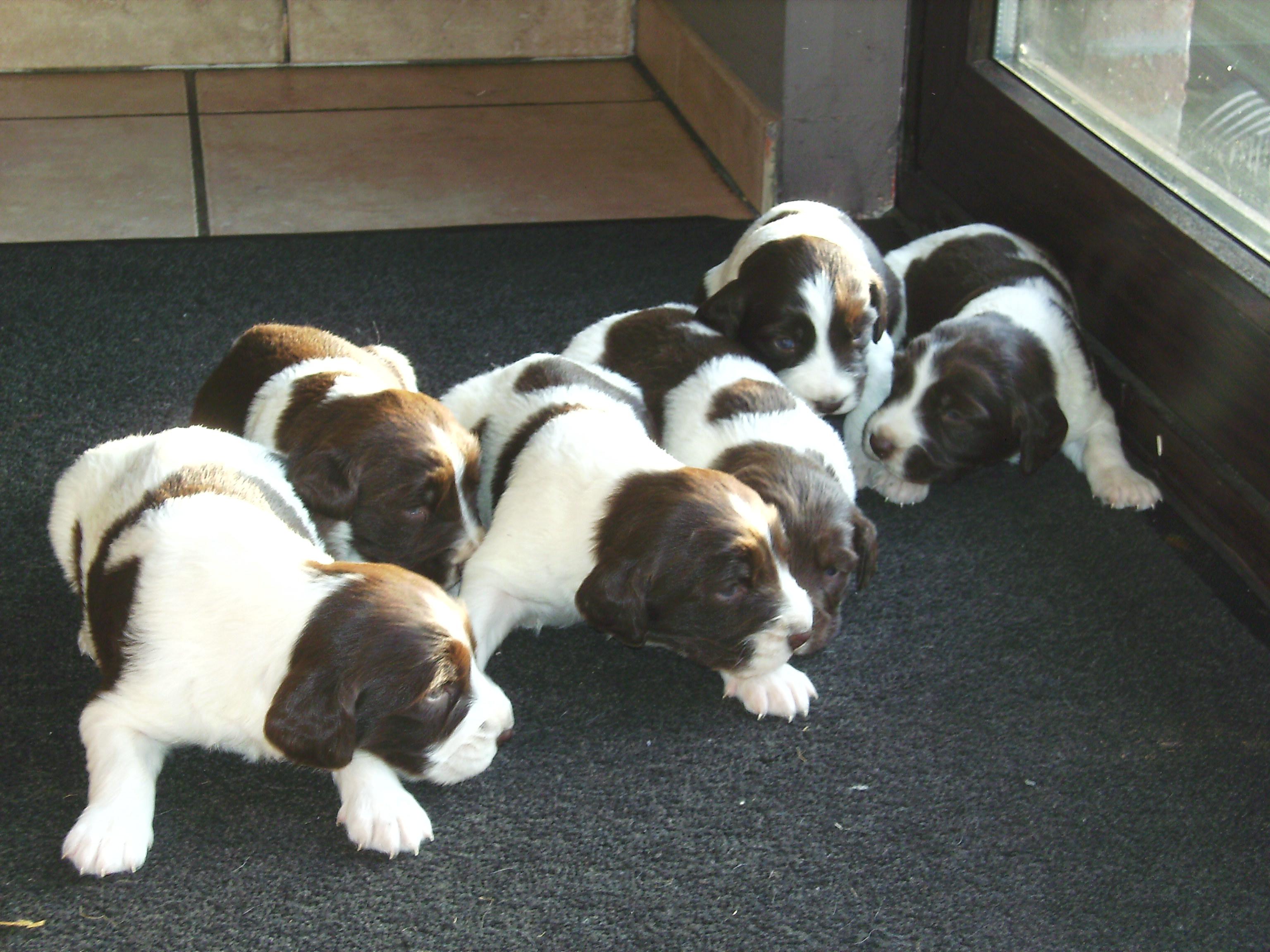 Drentse Patrijshond Puppies: Drentse Cute Drentse Patrijshond Puppies Breed