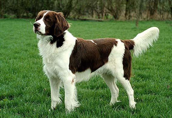 Drentse Patrijshond Puppies: Drentse Dehondpws Breed