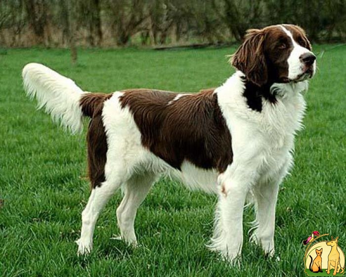 Drentse Patrijshond Dog: Drentse Drentse Partridge Dog Breed