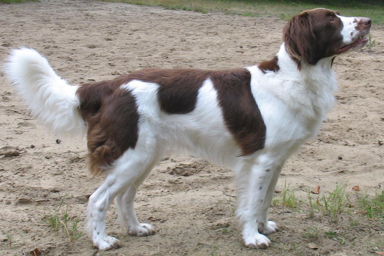 Drentse Patrijshond Puppies: Drentse Drentse Patrijshond Dog Side View Breed