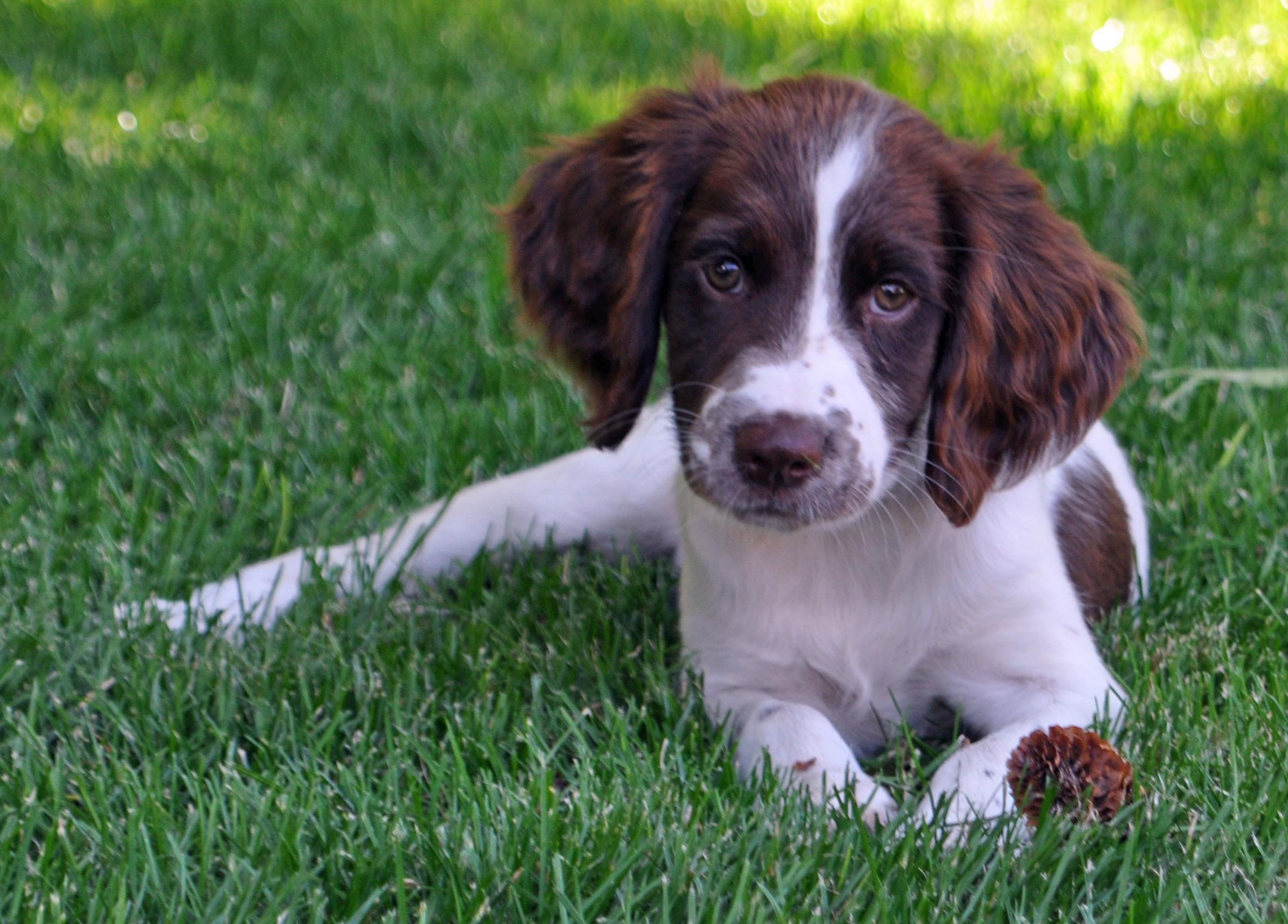 Drentse Patrijshond Puppies: Drentse Drentse Patrijshond Puppies For Sale Uk Gallery Breed