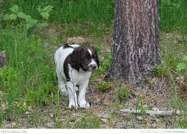 Drentse Patrijshond Puppies: Drentse Drentse Patrijshond Puppy Walking Through The Woods Breed