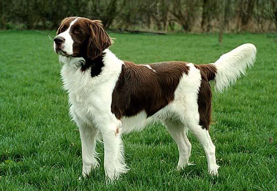 Drentse Patrijshond Dog: Drentse Honden Overzicht Breed