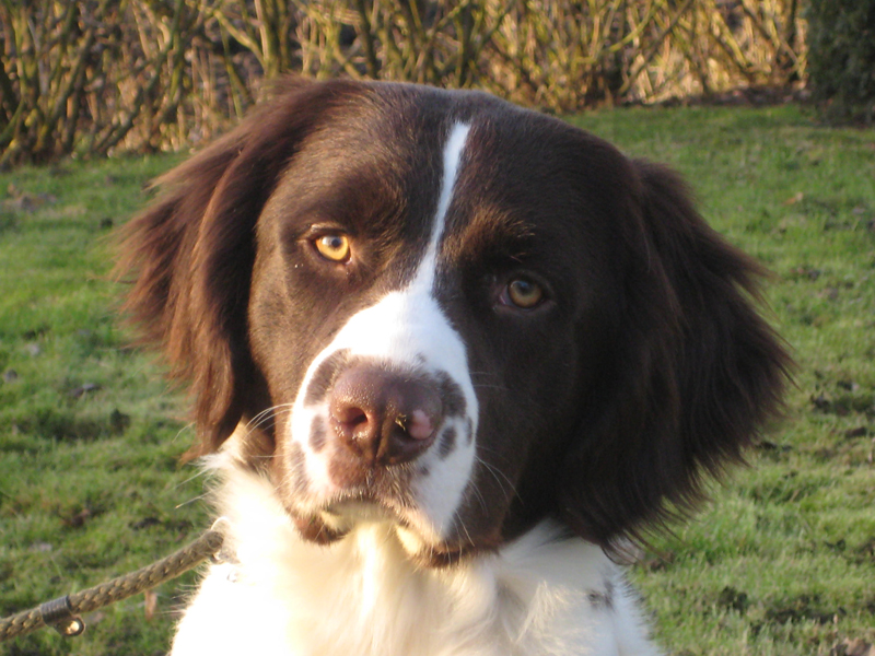 Drentse Patrijshond Puppies: Drentse Honey Drentse Patrijshond Dog Breed