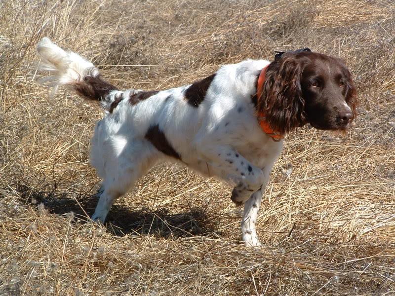 Drentse Patrijshond Dog: Drentse Hunting Drentse Patrijshond Dog Breed