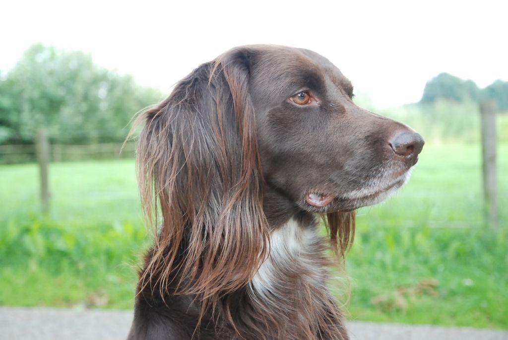 Drentse Patrijshond Dog: Drentse Lovely Drentse Patrijshond Breed