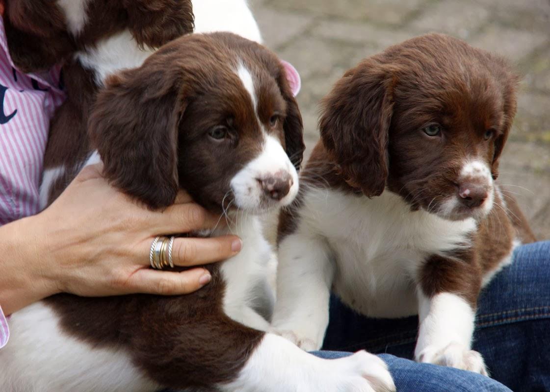 Drentse Patrijshond Puppies: Drentse Perdiguero De Drente Breed