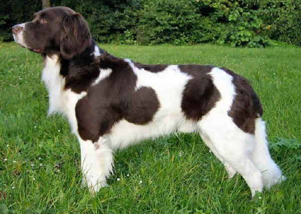 Drentse Patrijshond Dog: Drentse S Breed